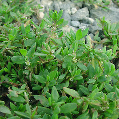 Leaves: Polygonum aviculare. ~ By Glen Mittelhauser. ~ Copyright © 2020 Glen Mittelhauser. ~ www.mainenaturalhistory.org