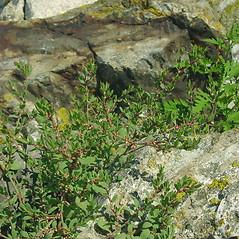 Plant form: Polygonum buxiforme. ~ By Glen Mittelhauser. ~ Copyright © 2018 Glen Mittelhauser. ~ www.mainenaturalhistory.org