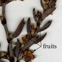 Fruits: Polygonum glaucum. ~ By CONN Herbarium. ~ Copyright © 2019 CONN Herbarium. ~ Requests for image use not currently accepted by copyright holder ~ U. of Connecticut Herbarium - bgbaseserver.eeb.uconn.edu/