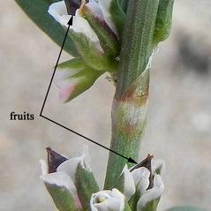 Fruits: Polygonum oxyspermum. ~ By Paula O'Meara. ~ Copyright © 2020 Paula O'Meara. ~ paulaomeara[at]eircom.net ~ wildflowerfinder.org.uk/Flowers/K/Knotgrass%28Rays%29/Knotgrass%28Rays%29.htm
