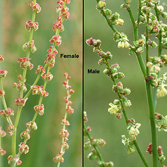 Flowers: Rumex acetosella. ~ By Arieh Tal. ~ Copyright © 2019 Arieh Tal. ~ http://botphoto.com/ ~ Arieh Tal - botphoto.com