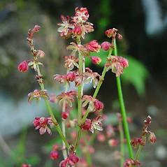 Flowers: Rumex acetosella. ~ By Glen Mittelhauser. ~ Copyright © 2017 Glen Mittelhauser. ~ www.mainenaturalhistory.org