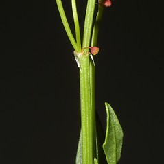 Stems: Rumex acetosella. ~ By Steven Baskauf. ~ Copyright © 2017 CC-BY-NC-SA. ~  ~ Bioimages - www.cas.vanderbilt.edu/bioimages/frame.htm