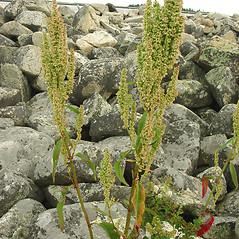 Plant form: Rumex britannica. ~ By Glen Mittelhauser. ~ Copyright © 2019 Glen Mittelhauser. ~ www.mainenaturalhistory.org