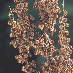 Fruits: Rumex crispus. ~ By Albert Bussewitz. ~ Copyright © 2017 New England Wild Flower Society. ~ Image Request, images[at]newenglandwild.org