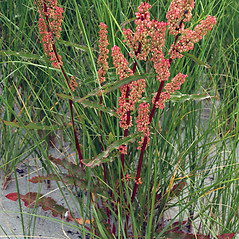 Plant form: Rumex crispus. ~ By Ben Kimball. ~ Copyright © 2020 Ben Kimball. ~ alpinefin[at]comcast.net