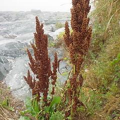 Plant form: Rumex longifolius. ~ By Glen Mittelhauser. ~ Copyright © 2017 Glen Mittelhauser. ~ www.mainenaturalhistory.org