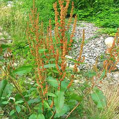 Plant form: Rumex obtusifolius. ~ By Donna Kausen. ~ Copyright © 2017 Donna Kausen. ~ 33 Bears Den, Addison, ME 04606