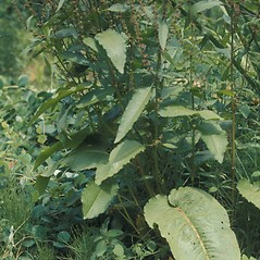 Leaves: Rumex obtusifolius. ~ By Lawrence Newcomb. ~ Copyright © 2019 New England Wild Flower Society. ~ Image Request, images[at]newenglandwild.org