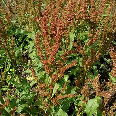 Plant form: Rumex patientia. ~ By Michael Hassler. ~ Copyright © 2018 Michael Hassler. ~ Requests for image use not currently accepted by copyright holder ~ Flowering Plants of Pennsylvania - www.botanik.uni-karlsruhe.de/FloraKA/PA/list.php
