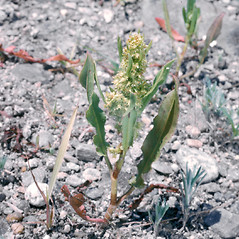Plant form: Rumex persicarioides. ~ By Frank Bramley. ~ Copyright © 2018 New England Wild Flower Society. ~ Image Request, images[at]newenglandwild.org
