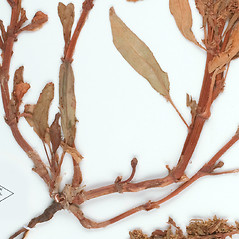 Stems: Rumex persicarioides. ~ By William and Linda Steere and the C.V. Starr Virtual Herbarium. ~ Copyright © 2019 William and Linda Steere and the C.V. Starr Virtual Herbarium. ~ Barbara Thiers, Director; bthiers[at]nybg.org ~ C.V. Starr Herbarium - NY Botanical Gardens