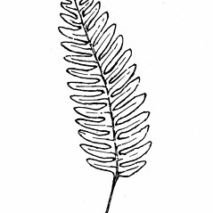 Leaf: Polypodium virginianum. ~ By Gordon Morrison. ~ Copyright © 2018 New England Wild Flower Society. ~ Image Request, images[at]newenglandwild.org