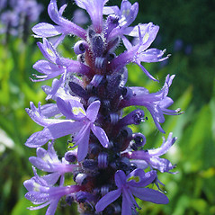 Flowers: Pontederia cordata. ~ By Glen Mittelhauser. ~ Copyright © 2017 Glen Mittelhauser. ~ www.mainenaturalhistory.org