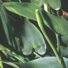 Leaves: Pontederia cordata. ~ By Frank Bramley. ~ Copyright © 2018 New England Wild Flower Society. ~ Image Request, images[at]newenglandwild.org