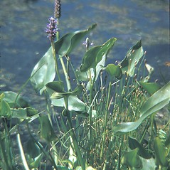 Leaves: Pontederia cordata. ~ By George Lienau. ~ Copyright © 2018 New England Wild Flower Society. ~ Image Request, images[at]newenglandwild.org