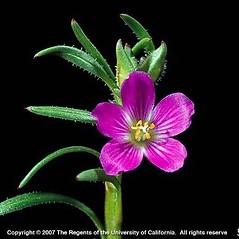 Flowers: Calandrinia ciliata. ~ By Joseph DiTomaso. ~ Copyright © 2019 CC BY-NC 3.0. ~  ~ Bugwood - www.bugwood.org/