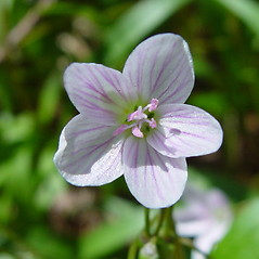 Flowers: Claytonia caroliniana. ~ By Arthur Haines. ~ Copyright © 2017. ~ arthurhaines[at]wildblue.net