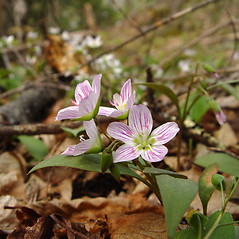 Flowers: Claytonia caroliniana. ~ By Donald Cameron. ~ Copyright © 2018 Donald Cameron. ~ No permission needed for non-commercial uses, with proper credit
