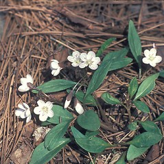 Plant form: Claytonia caroliniana. ~ By Lucien Taylor. ~ Copyright © 2018 New England Wild Flower Society. ~ Image Request, images[at]newenglandwild.org