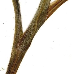Stems: Claytonia caroliniana. ~ By CONN Herbarium. ~ Copyright © 2017 CONN Herbarium. ~ Requests for image use not currently accepted by copyright holder ~ U. of Connecticut Herbarium - bgbaseserver.eeb.uconn.edu/