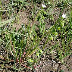 Plant form: Montia linearis. ~ By Keir Morse. ~ Copyright © 2020 Keir Morse. ~ www.keiriosity.com ~ www.keiriosity.com