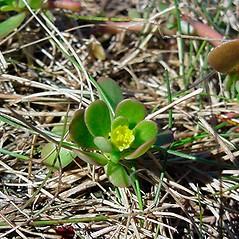 Flowers: Portulaca oleracea. ~ By Glen Mittelhauser. ~ Copyright © 2018 Glen Mittelhauser. ~ www.mainenaturalhistory.org