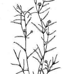 Plant form: Potamogeton foliosus. ~ By Gordon Morrison. ~ Copyright © 2019 New England Wild Flower Society. ~ Image Request, images[at]newenglandwild.org