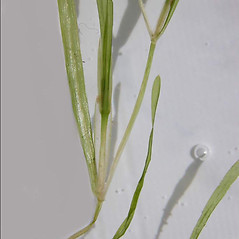 Stems: Potamogeton friesii. ~ By Andrea Moro. ~ Copyright © 2020 CC BY-NC-SA 3.0. ~  ~ www.luirig.altervista.org