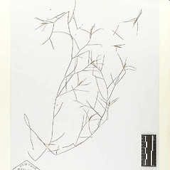 Plant form: Potamogeton gemmiparus. ~ By William and Linda Steere and the C.V. Starr Virtual Herbarium. ~ Copyright © 2018 William and Linda Steere and the C.V. Starr Virtual Herbarium. ~ Barbara Thiers, Director; bthiers[at]nybg.org ~ C.V. Starr Herbarium - NY Botanical Gardens