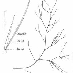 Leaves: Potamogeton gemmiparus. ~ By C. Barre Hellquist. ~ Copyright © 2018 C. Barre Hellquist. ~ C.Barre.Hellquist[at]mcla.edu ~ U. of New Hampshire