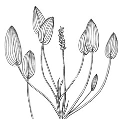 Inflorescences: Potamogeton oakesianus. ~ By C. Barre Hellquist. ~ Copyright © 2019 C. Barre Hellquist. ~ C.Barre.Hellquist[at]mcla.edu ~ U. of New Hampshire