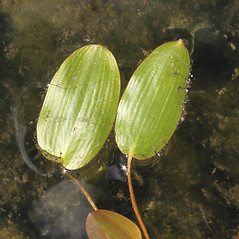 Leaves: Potamogeton oakesianus. ~ By Marilee Lovit. ~ Copyright © 2018 Marilee Lovit. ~ lovitm[at]gmail.com