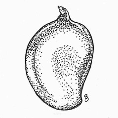 Flowers and fruits: Potamogeton perfoliatus. ~ By C. Barre Hellquist. ~ Copyright © 2019 C. Barre Hellquist. ~ C.Barre.Hellquist[at]mcla.edu ~ U. of New Hampshire