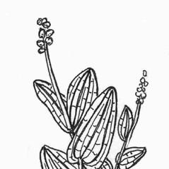 Inflorescences: Potamogeton perfoliatus. ~ By C. Barre Hellquist. ~ Copyright © 2017 C. Barre Hellquist. ~ C.Barre.Hellquist[at]mcla.edu ~ U. of New Hampshire