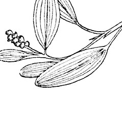Inflorescences: Potamogeton spirillus. ~ By C. Barre Hellquist. ~ Copyright © 2018 C. Barre Hellquist. ~ C.Barre.Hellquist[at]mcla.edu ~ U. of New Hampshire