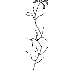 Stems: Potamogeton spirillus. ~ By West Virgina University Press. ~ Copyright © 2018 West Virgina University Press. ~ Carrie Mullen, carrie.mullen[at]mail.wva.edu ~ P.D. Strasbaugh and Earl L. Core, Flora of West Virginia. 1970. West Virginia U. Press, Morgantown, WV