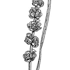Inflorescences: Stuckenia filiformis. ~ By Mary Barnes Pomeroy. ~ Copyright © 2018 Estate of Herbert Mason. ~ Any use permitted ~ Mason, HL. 1957. A flora of the Marshes of California. U. of California Press, Berkeley and Los Angeles, Library of Congress number 57-7960