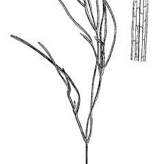 Stems: Stuckenia filiformis. ~ By Mary Barnes Pomeroy. ~ Copyright © 2019 Estate of Herbert Mason. ~ Any use permitted ~ Mason, HL. 1957. A flora of the Marshes of California. U. of California Press, Berkeley and Los Angeles, Library of Congress number 57-7960