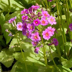 Flowers: Primula japonica. ~ By Charles Brun. ~ Copyright © 2018. ~ brunc[at]wsu.edu ~ Pacific Northwest Plants - www.pnwplants.wsu.edu/