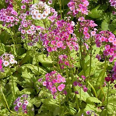 Plant form: Primula japonica. ~ By Charles Brun. ~ Copyright © 2018. ~ brunc[at]wsu.edu ~ Pacific Northwest Plants - www.pnwplants.wsu.edu/