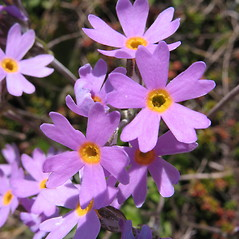 Flowers: Primula laurentiana. ~ By Marilee Lovit. ~ Copyright © 2017 Marilee Lovit. ~ lovitm[at]gmail.com