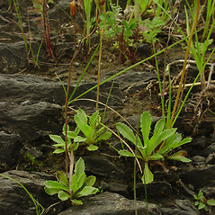 Plant form: Primula mistassinica. ~ By Glen Mittelhauser. ~ Copyright © 2017 Glen Mittelhauser. ~ www.mainenaturalhistory.org