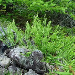 Plant form: Adiantum aleuticum. ~ By Arthur Haines. ~ Copyright © 2019. ~ arthurhaines[at]wildblue.net