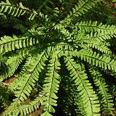 Plant form: Adiantum aleuticum. ~ By Glen Mittelhauser. ~ Copyright © 2019 Glen Mittelhauser. ~ www.mainenaturalhistory.org