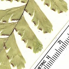 Sori: Adiantum aleuticum. ~ By Arizona State Herbarium. ~ Copyright © 2018 Arizona State Herbarium. ~ Leslie Landrum, les.landrum[at]asu.edu ~ Southwest Environmental Information Network - swbiodiversity.org/seinet/imagelib/index.php