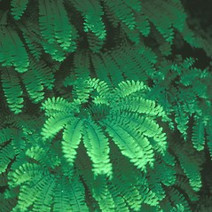 Plant form: Adiantum pedatum. ~ By Jean Baxter. ~ Copyright © 2018 New England Wild Flower Society. ~ Image Request, images[at]newenglandwild.org