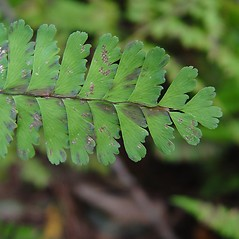 Detail of leaf and/or divisions: Adiantum pedatum. ~ By Donald Cameron. ~ Copyright © 2018 Donald Cameron. ~ No permission needed for non-commercial uses, with proper credit