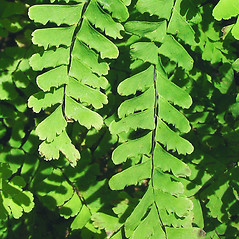 Detail of leaf and/or divisions: Adiantum pedatum. ~ By Glen Mittelhauser. ~ Copyright © 2019 Glen Mittelhauser. ~ www.mainenaturalhistory.org