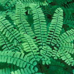 Leaf: Adiantum pedatum. ~ By Frank Bramley. ~ Copyright © 2017 New England Wild Flower Society. ~ Image Request, images[at]newenglandwild.org
